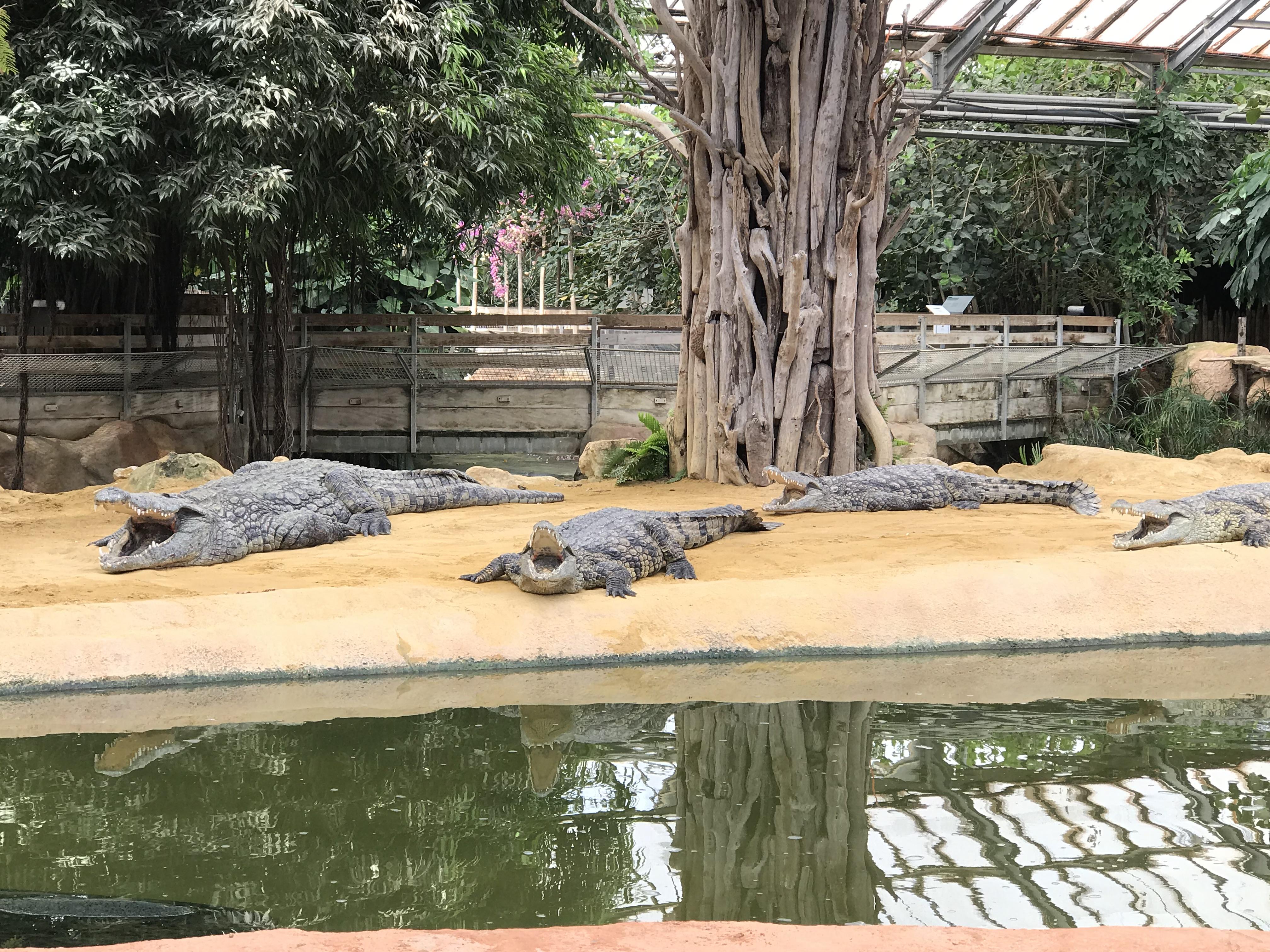 La Ferme aux crocodiles : une nurserie vient d'éclore
